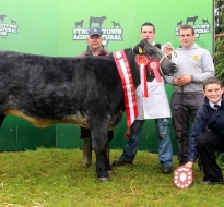 All Ireland Angus x Shorthorn Heifer 2014