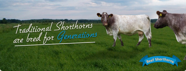 Traditional Shorthorns are bred for Generations