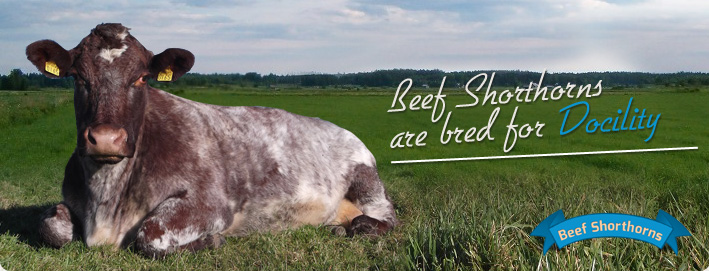 Beef Shorthorns are bred for Docility