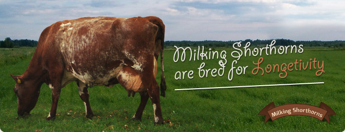 Milking Shorthorns are bred for Longetivity