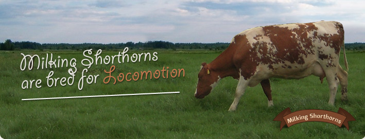 Milking Shorthorns are bred for Locomotion