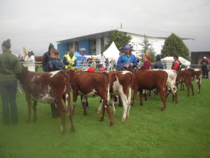 Line up in Milking Shorthorn Heifer Calf class at Limerick Show 2014