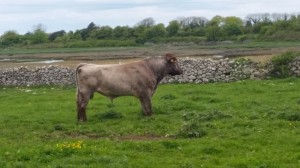 7 year old Dairy Shorthorn bull for sale.