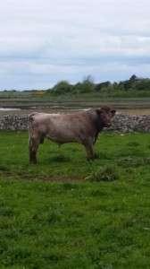 Ml Keane Dairy bull for sale 3